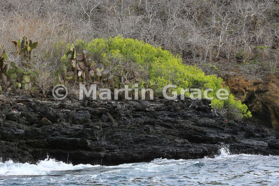 Giant Prickly Pear Cactus (Opuntia sp) with Leatherleaf (Maytenus octogona), Bahia Ballena, Santa Cruz, Galapagos
