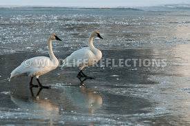 trumpeter_swans_two_ice_walkers