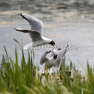 Aerial dispute between Black-Headed Gulls (Larus ridibundus)