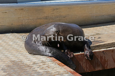 A female Giant River Otter (Pteronura brasiliensis) grooms herself while resting on the jetty at Porto Jofre, Mato Grosso, Brazil