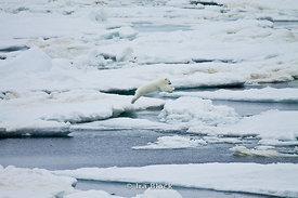 A polar bear cub takes a mighty leap from one ice floe to another on his journey near Svalbard, Norway.