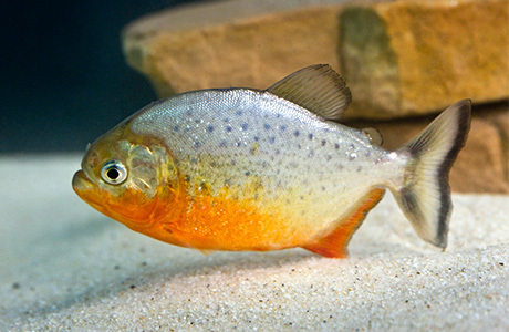 Pav ar3 piranha 460x300 d