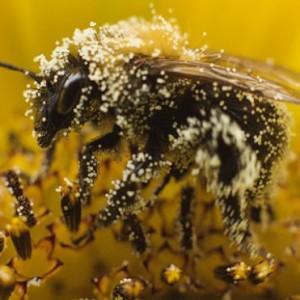 bee_pollen11