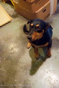 Barbara Shallue's dog Belle | Dog Days of Summer on Recipe Renovator