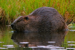 Beaver at Stanley Park in Vancouver, British Columbia