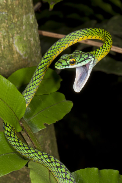 A parrot snake, one of at least 50 species of snake in Madidi National Park. Photo Credit: Mileniusz Spanowicz/WCS.