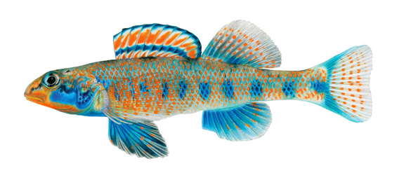the Spangled Darter (Etheostoma obama) from Tennessee