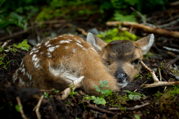 Deer fawn in the Tongass National Forest. Photo courtesy of the Sitka Conservation Society.