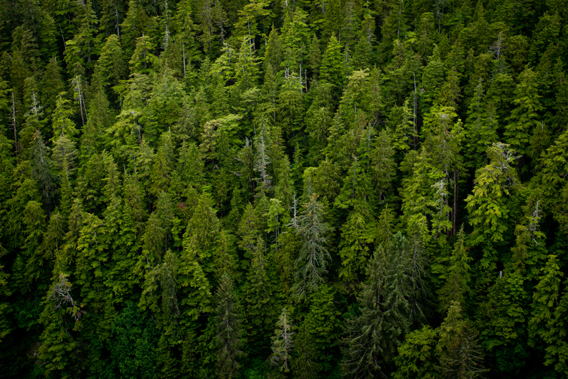 Untouched forest in the Tongass. Photo courtesy of the Sitka Conservation Society.