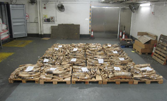 Hong Kong and Guangdong Customs confiscate two shipments of illegal elephant tusks, weighing around 3,813 kilogrammes (8,388 pounds). Photo courtesy of Hong Kong and Guangdong Customs.