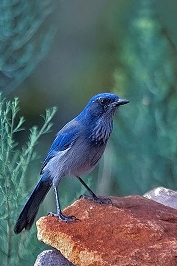 Western scrub-jay in New Mexico. Photo by: Peter Wallack.