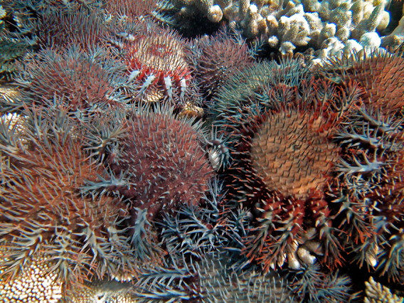 Outbreaks of the coral eating crown of thorns starfish have been responsible for 42 percent of the decline in coral cover on the Great Barrier Reef between 1985 and 2012. Photo by: Katharina Fabricius, Australian Institute of Marine Science.