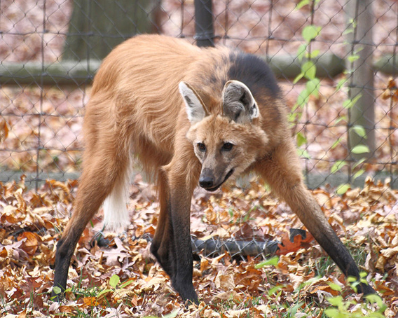 Maned wolf at Beardsley Zoo. Photo by: Sage Ross.