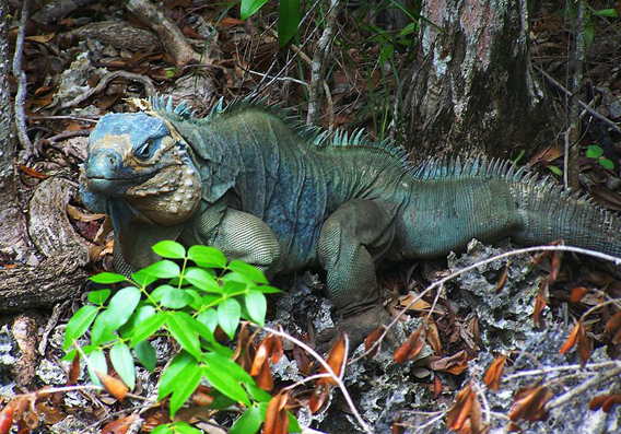 Blue iguana in Queen Elizabeth II Botanic Park. Photo by: Lhb1239.
