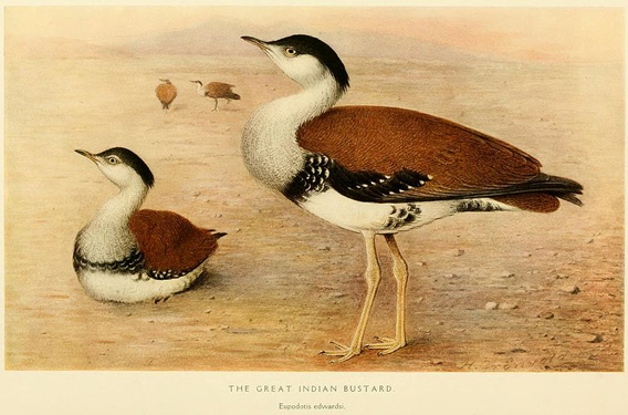 Only around 300 great Indian bustards survive (Ardeotis nigriceps). Illustration by: Henrik Grönvold.