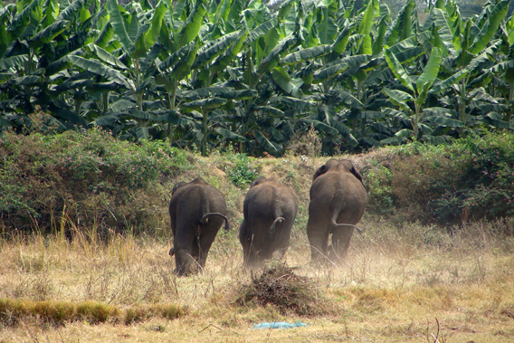 An all male elephant group runs into a banana plantation. Photo courtesy of Nishant Srinivasaiah.
