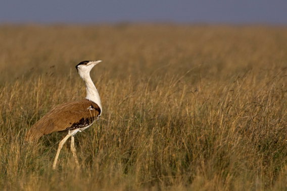 Less than 250 great Indian bustards (Ardeotis nigriceps) survive. Photo by: Rahul Sachdev.
