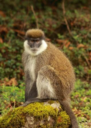 The Bale Mountains vervet (Chlorocebus djamdjamensis) is listed as Vulnerable by the IUCN Red List and remains one of Africa's least known primates. Photo courtesy of FZS.