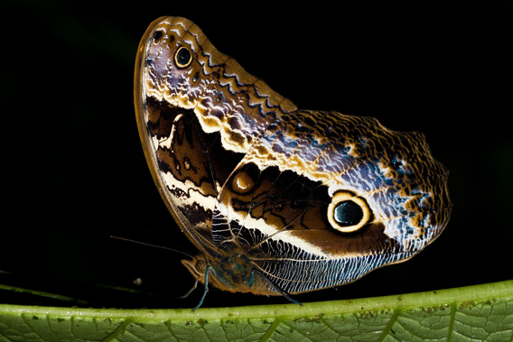 A beautiful butterfly from las Gralarias: Caligo oberthurri. Photo by: Carl Hutter.