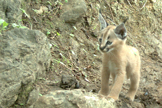 Close-up of a caracal kitten in Yemen taken by camera trap. Photo by: the Foundation for the Protection of the Arabian Leopard.