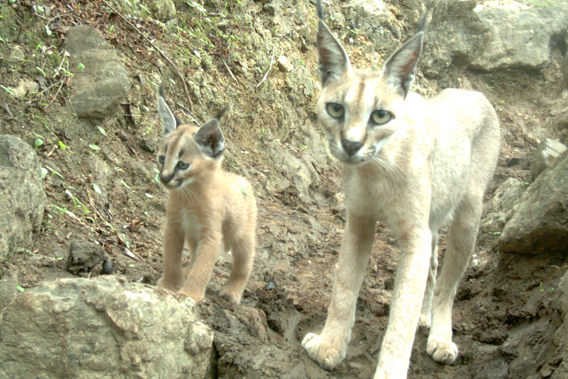Caracal mother and kitten.  Photo by: the Foundation for the Protection of the Arabian Leopard.
