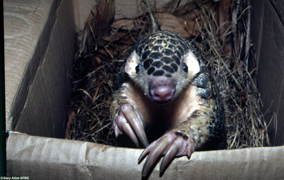 The Chinese pangolin. Photo by: Gary Ades/KFBG.