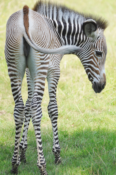 The new zebra foal is not yet named. Photo by: ZSL.