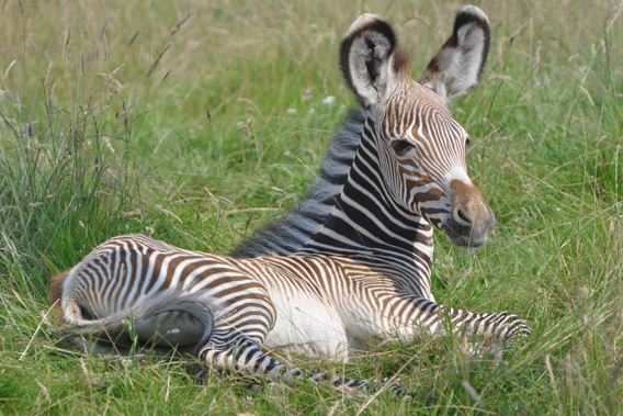Three-week old Grevy's zebra at the Zoological Society of London's (ZSL) Whipsnade Zoo. Photo by: ZSL.