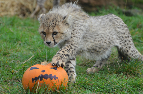 Cheetah and pumpkin. Photo courtesy of ZSL Whipsnade Zoo.