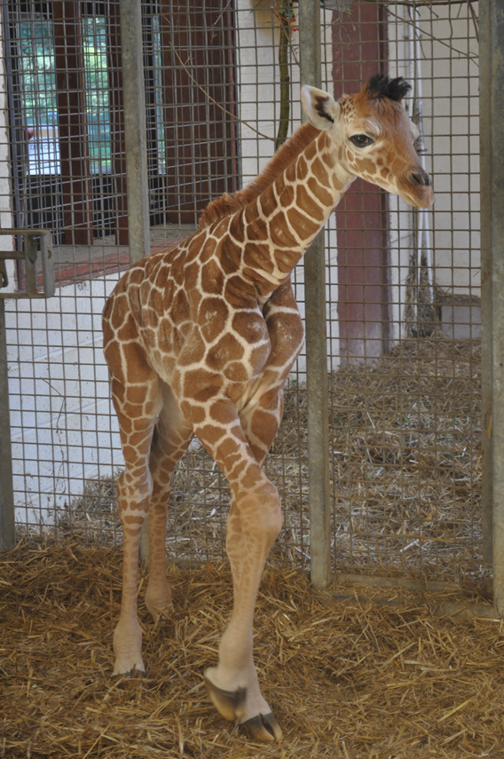 The baby giraffe already stands over six feet. Photo courtesy of ZSL Whipsnade Zoo.