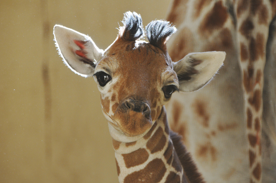 A month old male giraffe born at Zoological Society of London (ZSL) Whipsnade Zoo's. Photo courtesy of ZSL Whipsnade Zoo.