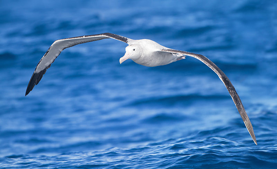 A wandering albatross (Diomedea exulans) near Tasmania. The wandering albatross is listed as Vulnerable by the IUCN Red List. Photo by: J.J. Harrison.