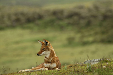 Ethiopian wolf. Photo by: Delphin Ruche.