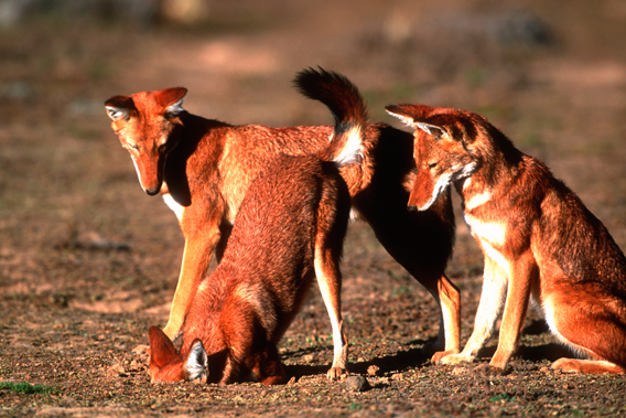Ethiopian wolves hunting rodents. Photo by: Martin Harvey.