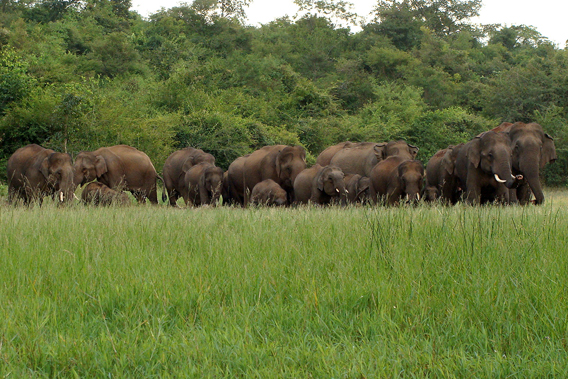 Elephant group feeding. Photo courtesy of Nishant Srinivasaiah.