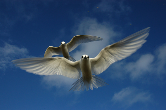 White terns (Gygis alba) over the Midway Atoll. White terns are listed as Least Concern by the IUCN Red List. Photo by: Carl Safina.