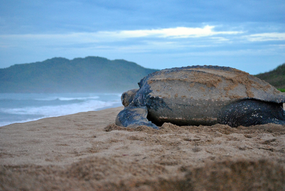 A female leatherback surveys the ocean at Playa Grande, Costa Rica. While her hatchlings will be affected by rising beach temperatures, she faces threats at sea. Photo by: The Leatherback Trust.