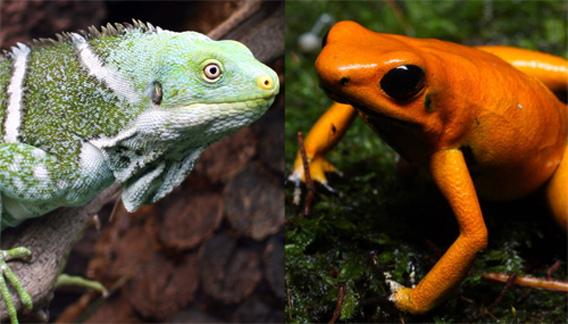 Left: Fiji crested iguana. Photo by: Matthias Liffers. Right: Golden poison frog. Photo by: ProAves.