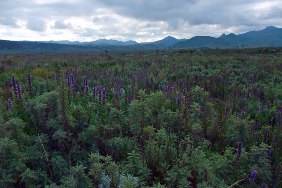 Gaysay Grasslands in Bale Mountains National Park. Photo courtesy of the Frankfurt Zoological Society (FZS).