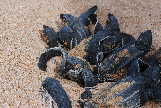 Leathery hatchlings emerge from a sandy nest. Rising beach temperatures threaten hatchling survival in the sand. Photo by: The Leatherback Trust.