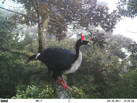 A horned guan (Oreophasis derbianus) in Guatemala. Not a guan at all, this bird is the last survivor of a family of birds. It's listed as Endangered by the IUCN Red List. Photo by: Javier Rivas/BBC Wildlife Magazine.