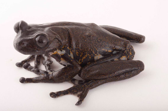 New species of amphibian described this year Hyloscirtus criptico, which is found in las Gralarias. Photo by: Luis A. Coloma (Centro Jambatu).