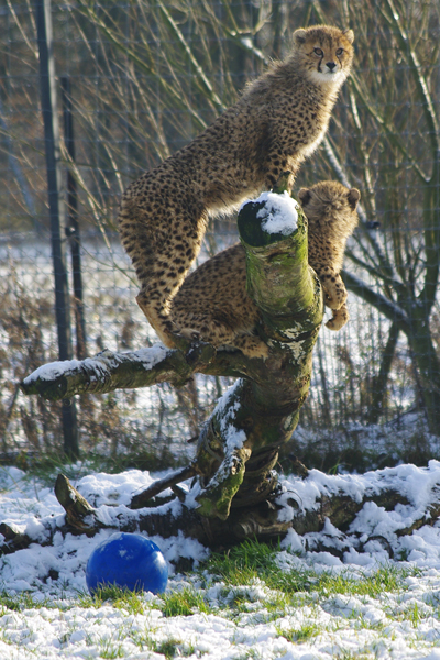 Cheetah cubs meet their first snowfall. Photo courtesy of ZSL Whipsnade Zoo.