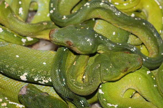 Illegally traded green pythons (Morelia viridis) in the black market pet trade. Photo courtesy of Jessica Lyons.