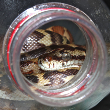 Wild carpet pythons (Morelia spilota) are traded on a legal quota system, but researchers say the quota is often exceeded. Photo courtesy of Jessica Lyons.