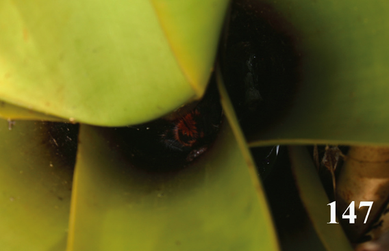 Backside of Iridopelma katiae peeking out of bromeliad. Photo courtesy of R. Bertani.