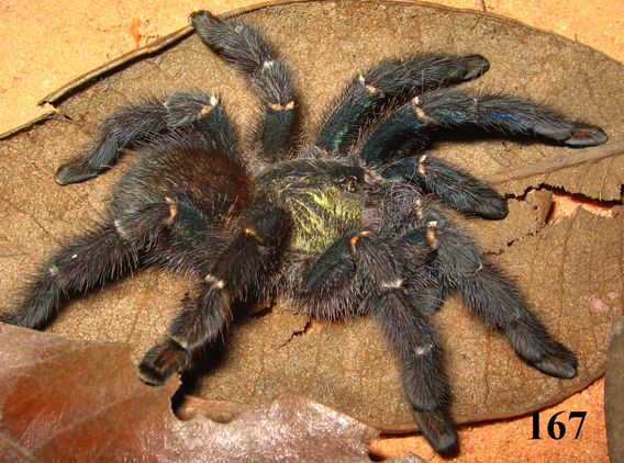 Female Iridopelma marcoi. Photo courtesy of R. Bertani.