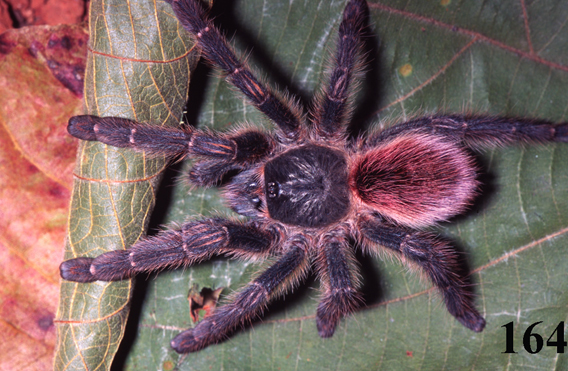 Male specimen of new species: Iridopelma oliveirai. Photo courtesy of R. Bertani.