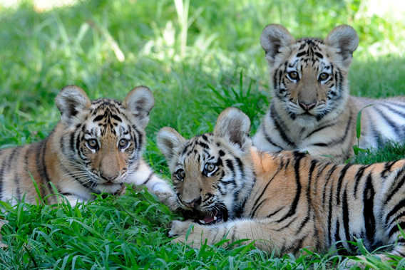 The Siberian tiger triplets were born to parents, Katharina and Sasha. Photo by: Julie Larsen Maher/WCS.