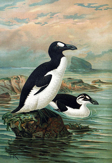 Arguably the most famous of extinct seabirds, the great auk (Pinguinus impennis) was killed off by overhunting and egg collecting. Painting by: Johannes Gerardus Keulemans.